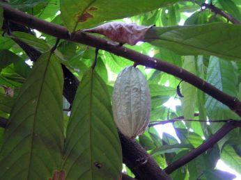 Kakao * Cocoa