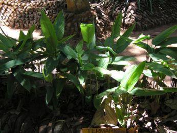 Kurkuma * Curcuma, turmeric