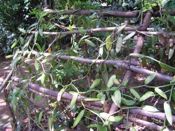 Vanilka, orchidej v období vegetačního klidu * Vanilla, orchid in the dormancy period
