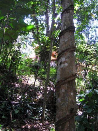 Gumovník * Rubber tree