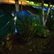 orchid_market_krabi_romana_granatova (20)