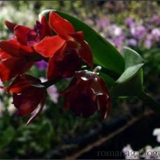 orchid_market_krabi_romana_granatova (41)