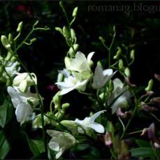 orchid_market_krabi_romana_granatova (46)