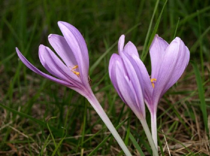"""Věděli jste, jak je ocún, Filius ante patrem, zajímavý? Je to květina s největšími (nejdelšími) květy na světě: nad zemí na podzim vystrčí patnácticentimetrovou korunku trubkovitého květu, jehož větší, až půlmetrová, část se skrývá pod zemí. Semeník je přilehlý k hluboko ukryté hlíze celou zimu, na jaře pak vyroste stonek, který semena vystrčí těsně nad povrch země. Semena mají výrůstek, který ve vzduchu zrosolovatí, semeni se slizem přilepí na kopyta  dobytka a ten ho roznáší po louce. Protože má ocún dříve semena, než květy, dostal latinskou přezdívku """"syn dříve, než otec"""". Ano jeho praví jméno není vybrané jen tak: když Médea vařila v Kolchidě jed pro své nepřátele, ukáplo jí pár kapek na zem a z těch vyrostl prudce jedovatý ocún, Colchicum."""