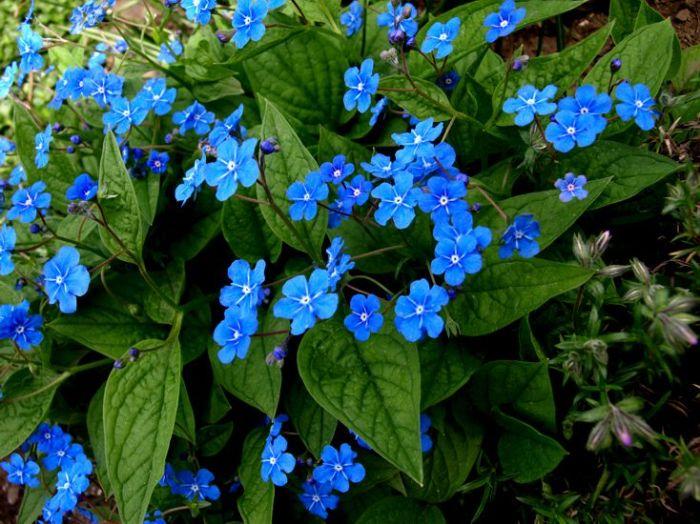 Přesně tak voní: modré kvítky jsou kontrastní k lahodnému zelenému základu a nejde je vnímat komplementárně.