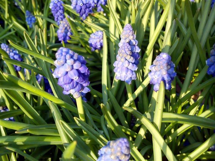 grape-hyacinth (Medium)