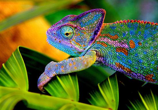 chameleon-1[1]
