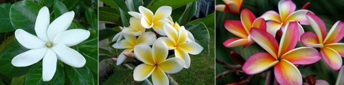 Zatímco tiaré může mít šest až osm okvětních lístků, frangipani jich má vždy pět. Tiaré je čistě bílá, střed květu frangipani je zabarven žlutě a okvětní lístky mohou přecházet z bílé pžes oranžovou a růžovou až do fialkové. Květy tiaré jsou nasazeny jednotlivě, frangipány kvetou v trsech.