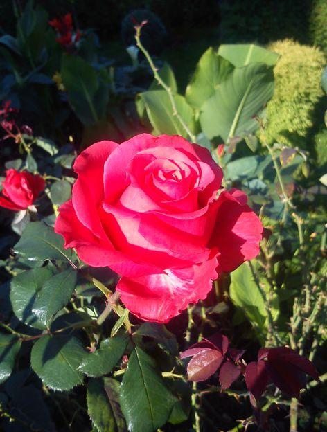ruze_2_rose