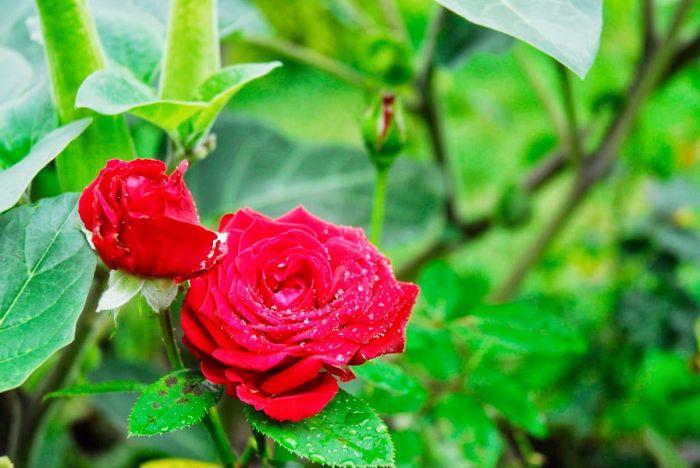ruze_3_rose