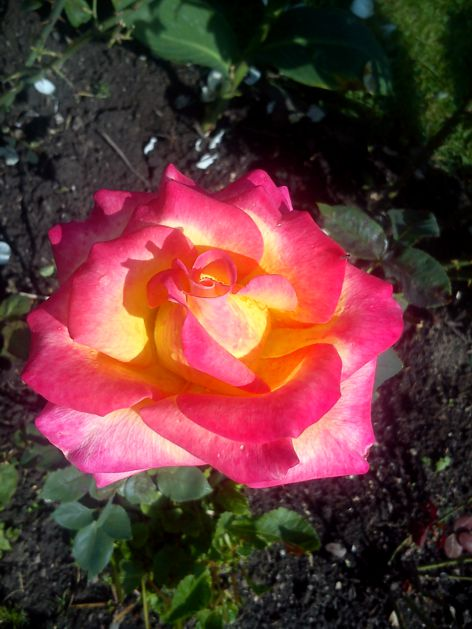 ruze_6_rose